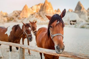 Close-up portrait of a horse in a corral in Cappadocia against the background of a cave town in Goreme